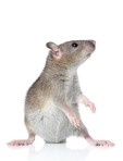 Rat posing on a white background
